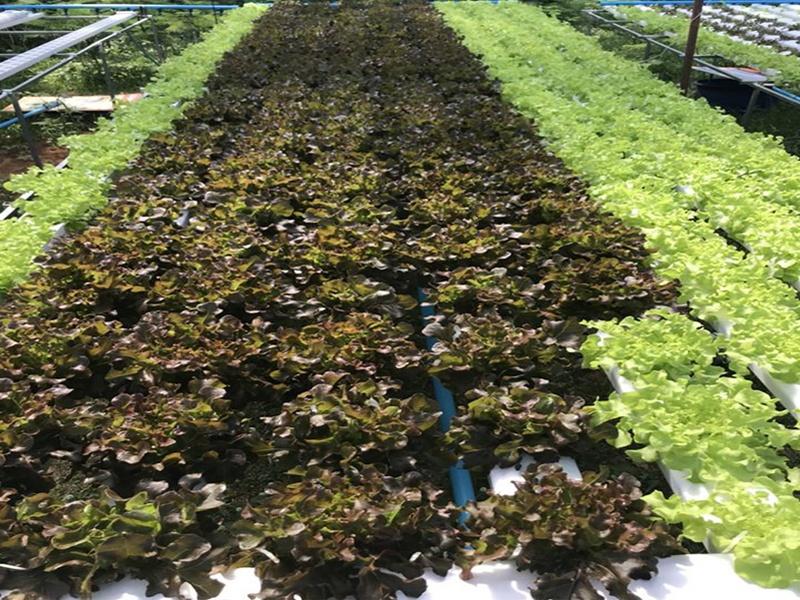 การปลูกพืชไร้ดิน