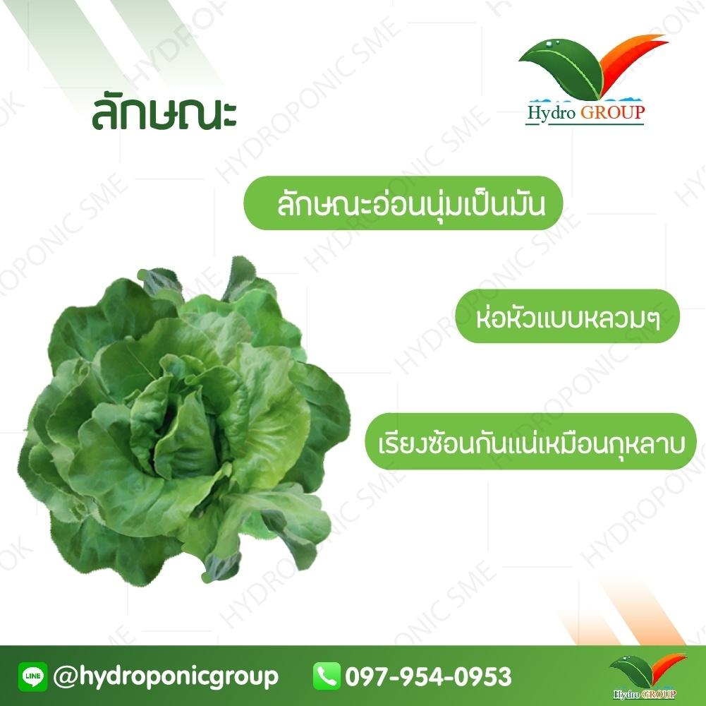 กรีนบัตเตอร์เฮด (Green Butterhead)